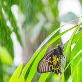 Golden birdwing butterfly. On green leaf during raining in public park in Thailand Stock Photo