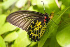 Golden Birdwing butterfly on green leaves,. Golden birdwing butterfly perched on a leaf in the rainforest.Can be easily found in Asia Royalty Free Stock Photography