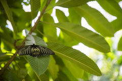 Golden birdwing butterfly in the park. Royalty Free Stock Photos