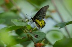 Golden Birdwing butterfly perching on flower stock photography