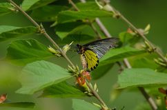 Golden Birdwing butterfly perching on flower royalty free stock photography