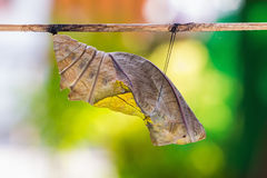 Golden birdwing butterfly pupa Stock Image