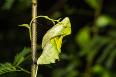 Golden birdwing butterfly pupa Royalty Free Stock Photo