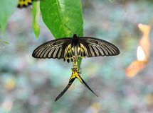Golden Birdwing butterfly reproduction Royalty Free Stock Photo