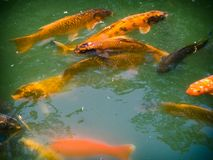 Golden Koi Fish in Pond Japanese Gardens Fort Worth Texas. Golden and black Koi fish swim and beg for food in a deep green-blue pond at the Japanese Gardens in stock photos