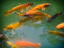 Golden Koi Fish in Pond Japanese Gardens Fort Worth Texas