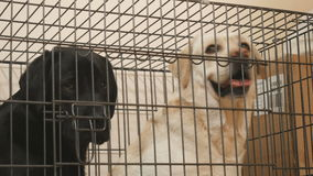 Golden and black labradors in the cage stock video footage