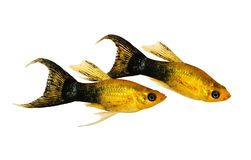 Golden black Lyretail Molly Poecilia latipinna aquarium fish royalty free stock photo