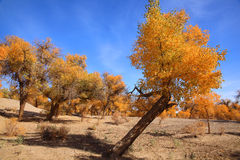 Golden black poplars in autumn Royalty Free Stock Photos