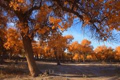 Golden black poplars in autumn. The golden black poplars are standing in the autumn morning of Inner Mongolia, China Royalty Free Stock Photo
