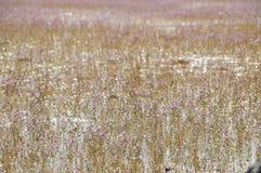 Golden bladderwort or Utricularia aurea at Lake Thale Noi Waterfowl Reserve. Khuan Khanun, Thailand royalty free stock image