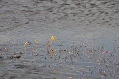 Golden bladderwort or Utricularia aurea at Lake Thale Noi Waterfowl Reserve. Khuan Khanun, Thailand royalty free stock images