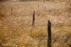 Golden blades of grass waves and tree stumps pattern royalty free stock photo
