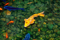 Golden and blue and red koi fish Stock Photo