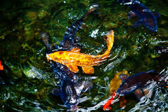 Golden and blue and red koi fish Royalty Free Stock Photo