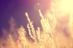 Golden blurry vintage meadow Royalty Free Stock Photo