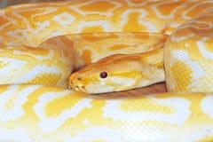 Golden boa. The close-up of golden boa(Burmese Python stock photography
