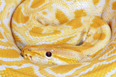 Golden boa. The close-up of golden boa(Burmese Python royalty free stock photography