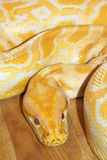 Golden boa Stock Photo