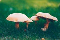 Golden bootleg mushroom group Stock Photos