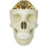 Golden brains Stock Photography