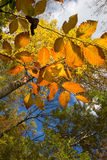 Golden Branch. Branch with golden leaves stock images