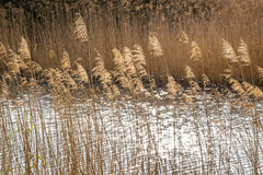 Golden branches of dried pampas grass Stock Photo