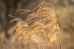 Golden branches of dried pampas grass Stock Images
