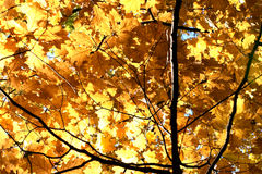 Golden branches of a tree in autumn backlit. Royalty Free Stock Photography