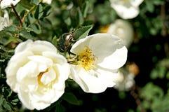 Golden brantovka. White rosefinger rose,beetle,green,gold,flower Stock Photography