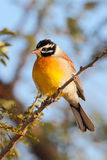 Golden breasted Bunting Royalty Free Stock Photos