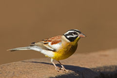 Golden-breasted bunting. Emberiza flaviventris royalty free stock image