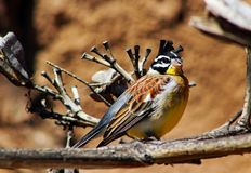Golden-breasted bunting, Emberiza flaviventris. The golden-breasted bunting Emberiza flaviventris is a passerine bird in the bunting family Emberizidae. It royalty free stock photo