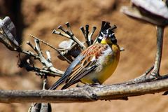Golden-breasted bunting, Emberiza flaviventris. The golden-breasted bunting Emberiza flaviventris is a passerine bird in the bunting family Emberizidae. It stock image