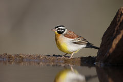 Golden-breasted bunting, Emberiza flaviventris Stock Photos