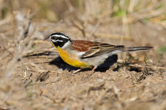 Golden-breasted bunting with lovely colours looking for food Royalty Free Stock Photos
