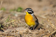 Golden-breasted bunting with lovely colours looking for food Stock Photo