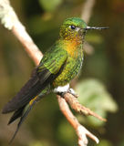 Golden-breasted Puffleg. A Golden-breasted Puffleg (hummingbird) on the Yanacocha Reserve in the Andes of Ecuador Stock Images