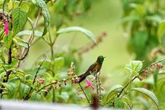 Golden-breasted puffleg in Antisana Ecological Reserve, Ecuador. Golden-breasted puffleg Eriocnemis mosquera hummingbird perched on a flowering bush in the rain royalty free stock photo