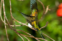 Golden-breasted Puffleg display. Ecuador stock image