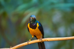 Golden-breasted Starling Royalty Free Stock Photography