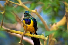 Golden-breasted Starling Stock Image
