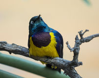 Golden-breasted Starling Stock Images