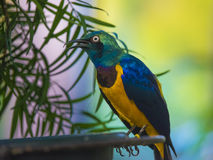 Golden-breasted Starling Lamprotornis regius, also known as Roya Royalty Free Stock Images