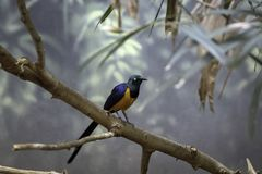 Golden breasted Starling sitting on the tree branch in Denver Zoo stock image
