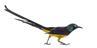 Golden Breasted Starling  on white Royalty Free Stock Photos