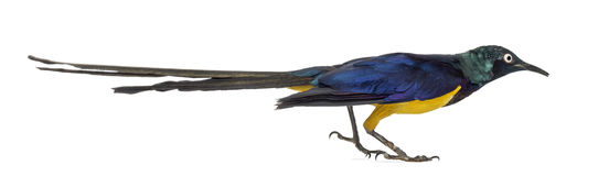 Golden Breasted Starling  on white Stock Images