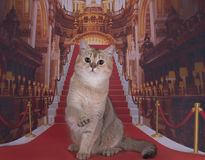 Golden British cat on the red carpet Stock Image
