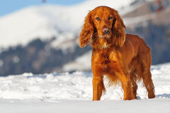 Golden british cocker spaniel standing in the snow Royalty Free Stock Image