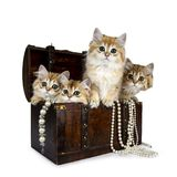 Four super sweet golden British Longhair cat kitten sitting in brown wooden jewel box with pearl necklaces, looking straight in de royalty free stock images